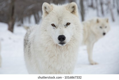 Two Artic Wolves look at camera