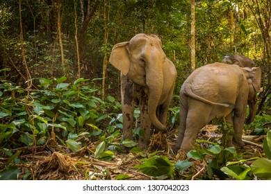 Two asian elephants trampling through the Thai jungle