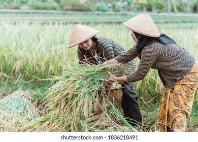 two Asian farmers help each other lift the rice plants that have been harvested after harvesting together in the fields