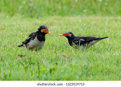 Two Asian Pied Starling threatening to each other
