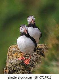 two Atlantic Puffin summer bird standing on the edge, facing the photographer, with their head tilted like thinking posture