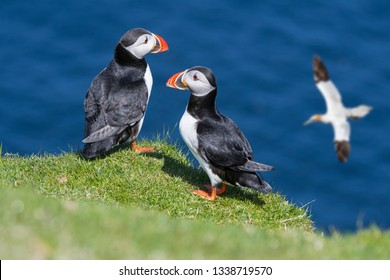Two Atlantic puffins (Fratercula arctica) on sea cliff top and gannet flying by in seabird colony, Shetland Islands, Scotland, UK