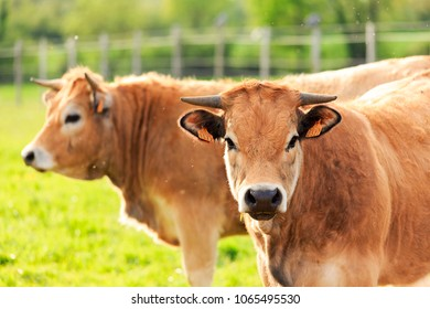 Two Aubrac cows, a variety of cattle from France