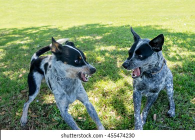 Two Australian Cattle Dogs or Blue Heelers snarling growling warning showing aggression toward each other and about to fight or play in a grassy field or natural outside yard