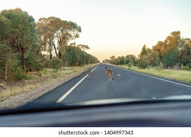 Two Australian kangaroos hopping fast along a lonely bitumen highway at sunrise to escape a fast moving car