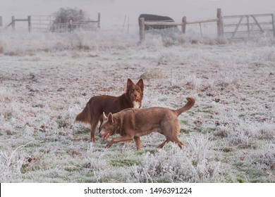 two australian kelpie dogs in an extremely foggy pasture with a cow in the background surrounded by white frosty vegetation