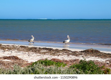Two Australian pelicans (Pelecanus conspicillatus) walking at the beach in Nambung National Park, Western Australia