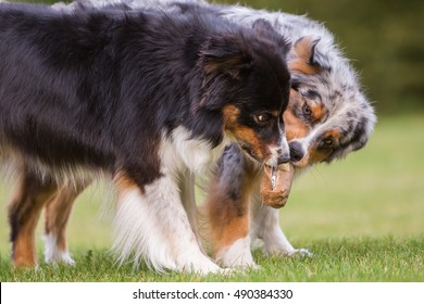 two Australian Shepherd dogs fighting for a food bag