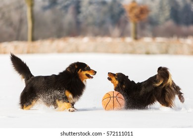 two Australian Shepherd dogs playing in the snow