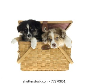 Two Australian Shepherd Puppies, 9 weeks old, Inside a Picnic Basket, isolated over white background.