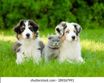 Two Australian shepherd puppies and scottish cat lying on green grass