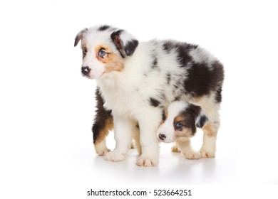 Two Australian Shepherd puppy (isolated on white)