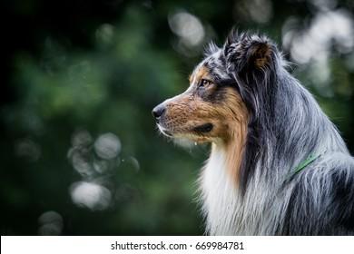 Two Australian Shepherds head profile