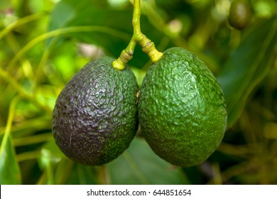 Two avocados hanging from the tree with green background