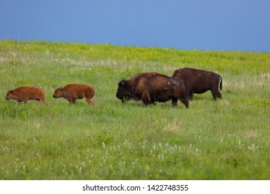 Two babies and two adult bison standing on a hillside of vibrant green grass in the afternoon sunshine with dark storm clouds behind.