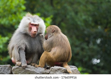Two baboons sitting on rocks and catching fleas