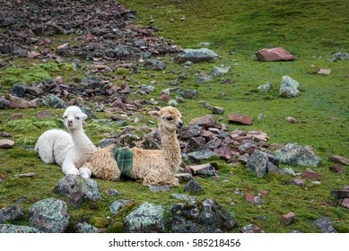 Two baby alpaca resting on rocky slope on the Peruvian Andes