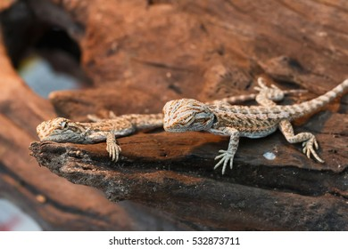 Baby Bearded Dragon Images, Stock Photos & Vectors   Shutterstock