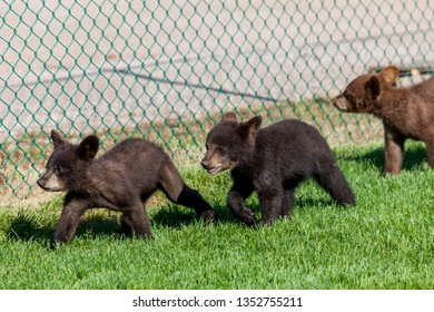 Two baby black bears and one baby brown bear walking in a row along a chain link fence in the green grass and sunshine.