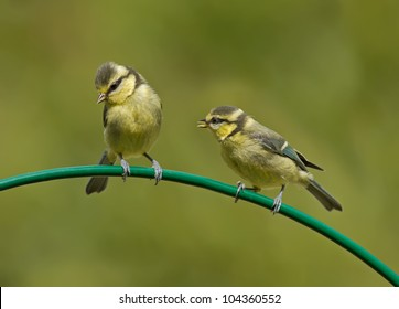 Two baby Blue Tits on a curved perch  (Cyanistes caeruleus)