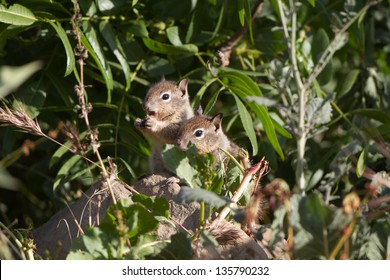 Two baby California Ground Squirrels explore the world outside their nest burrow
