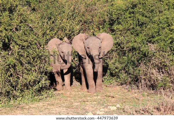 Two baby elephants flap their ears as they cautiously step out of the thick bush
