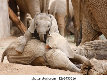 Two Baby Elephants Playing with the Herd in the Background