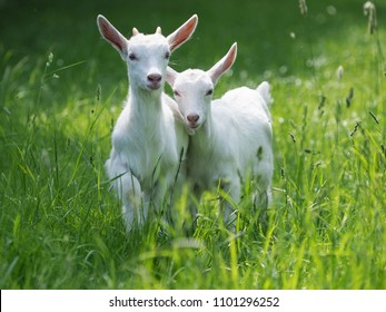 Two baby goat kids stand in long summer grass.