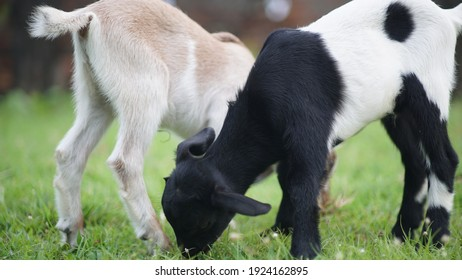 Two baby goats eating grass.