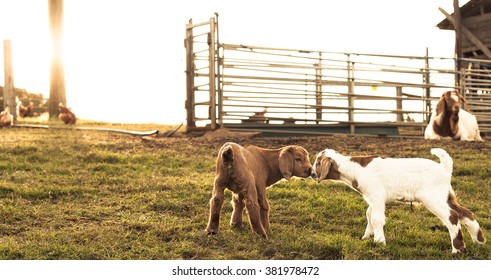 Two baby goats sharing a special moment on the farm at sunset.