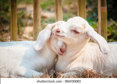 Two baby goats sleeping in love