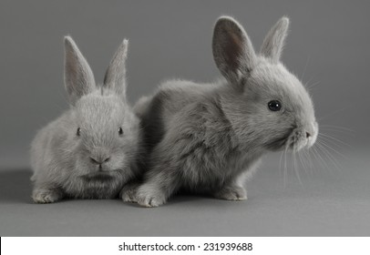 Two baby lilac bunnies