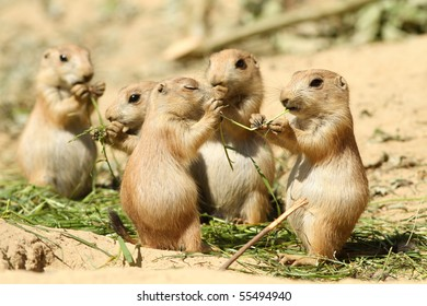Two baby prairie dog eating the same piece of grass