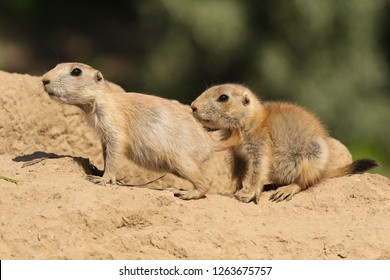 Two baby prairie dogs