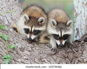 Two Baby Raccoons Called Kits In The Fork Of An Oak Tree