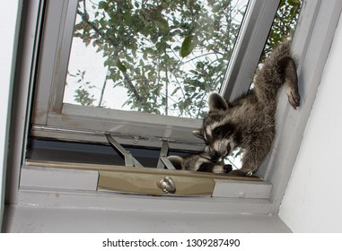 Two baby raccoons trying to climb in a home skylight.