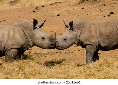 Two baby rhinoceros in Kruger National Park in South Africa.