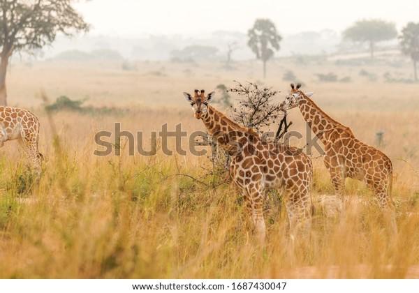 Two baby Rothschild's giraffe ( Giraffa camelopardalis rothschildi) in a beautiful light at sunrise, Murchison Falls National Park, Uganda.