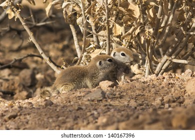 Two Baby Round-tailed Ground Squirrels Eating