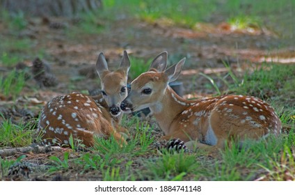 Two baby spotted deer lying together touching noses.