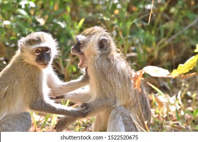 Two baby Vervet monkeys (Chlorocebus pygerythrus) arguing and fighting like a married couple while playing under a warm winter sun on the banks of the Zambezi river in Zambia, Africa.