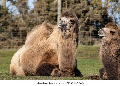 Two Bactrian Camels at the West Midland Safari Park, Bewdley, Hereford and Worcester, England