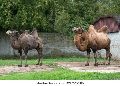 Two bactrian camels at zoo