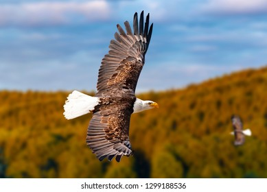 Two bald eagles fly high in the sky and seek prey. There are clouds in the sky but there is a clear view in the bright sun.