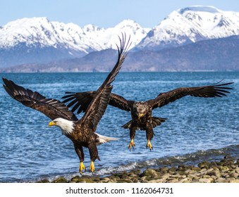 Two Bald Eagles flying on Homer Alaska Beach