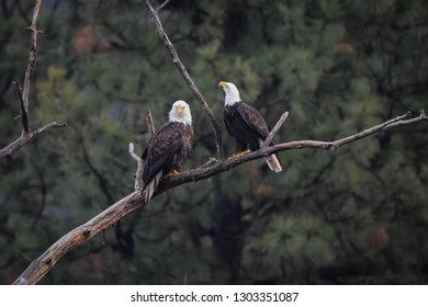 Two Bald Eagles perched in tree