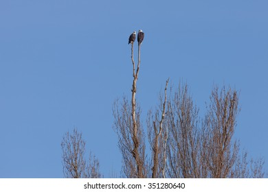 Two Bald Eagles Perching on top of a tall Black Poplar Tree