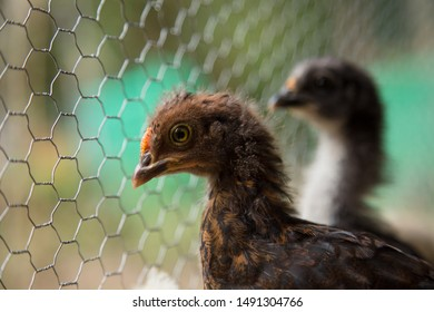 Two Bantam Chicks inside of a hen house looking through a wire fence.  Urban farm in Florianópolis / Brazil