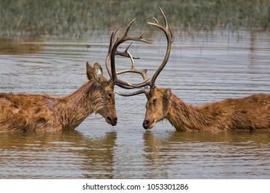 Two  barasingha deer bucks fighting in the water in Kanha National Park in India
