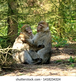 two barbary macaques fleeing each other